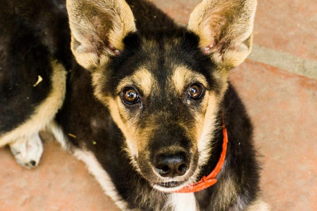 how to take care of a german shepherd puppy at home
