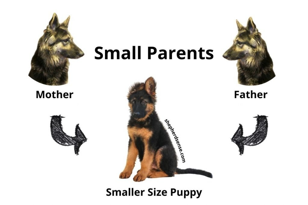 german shepherd puppy is small because of smaller size parents