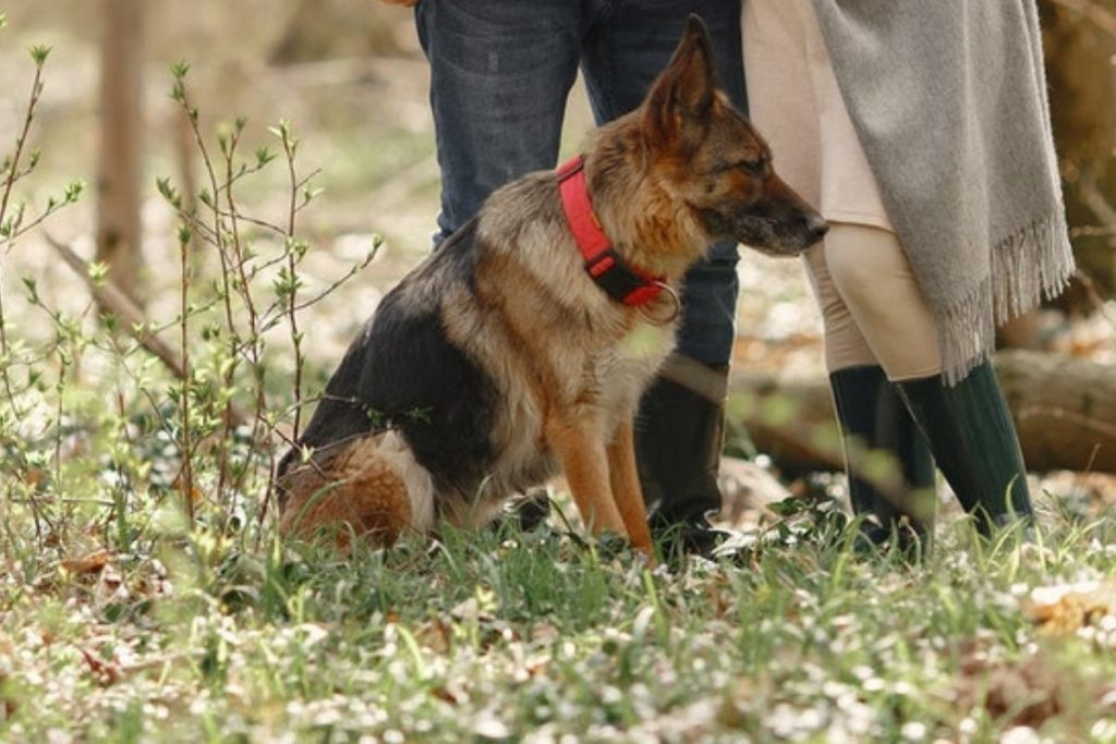 letting your german shepherd off their leash for recall training outdoors