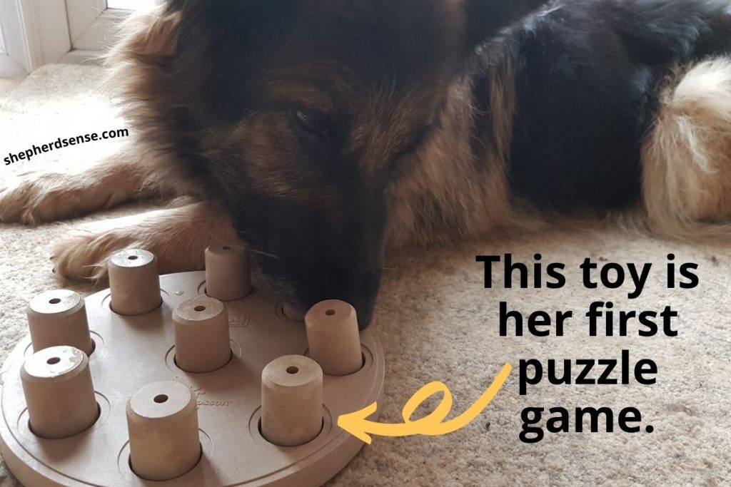 my german shepherd playing with her first puzzle toy
