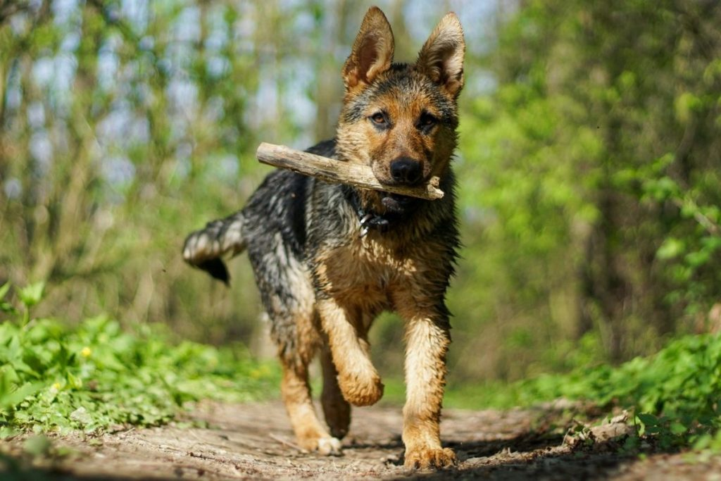 an active german shepherd puppy or adult needs the right amount of calories for their lifestyle