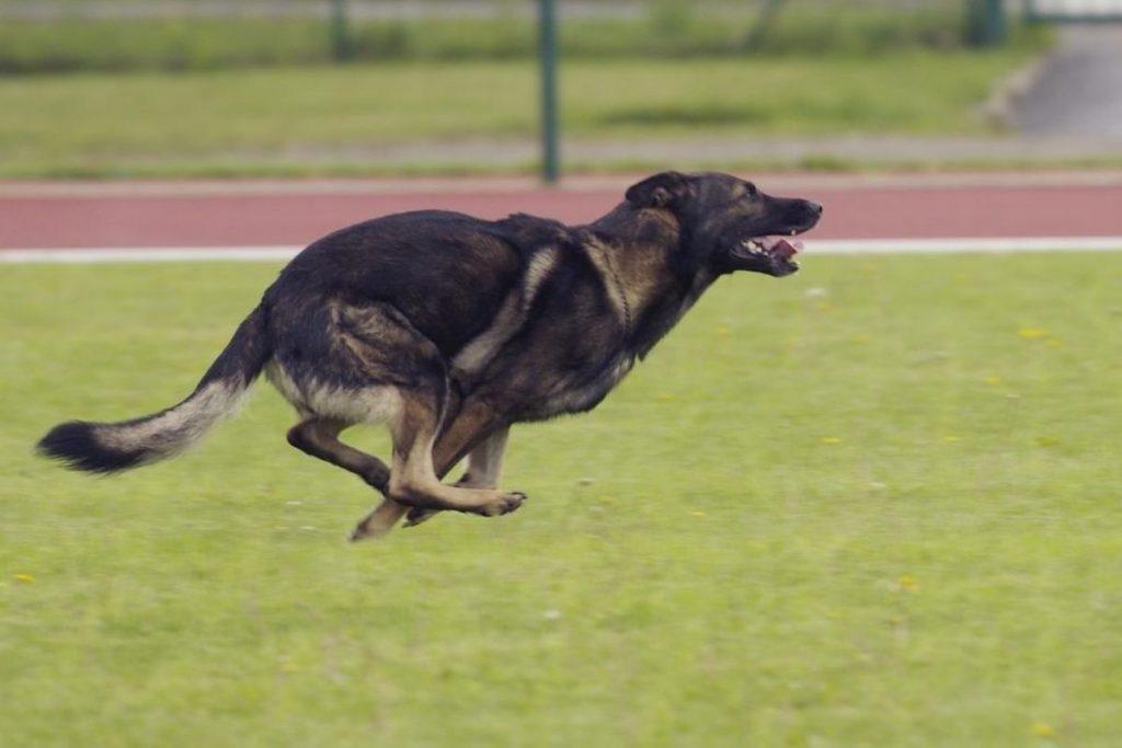 out of control german shepherd behavior plan