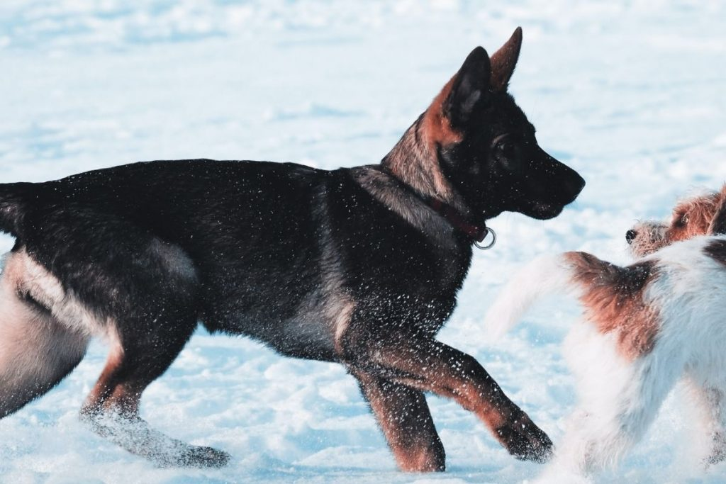 play and training is part of german shepherd puppy care