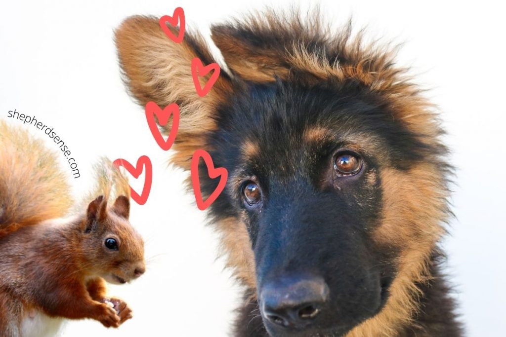 there are too many distractions, like squirrels, for your german shepherd to focus on you