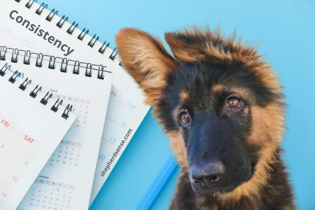 use structure and consistency when training your german shepherd to be calm
