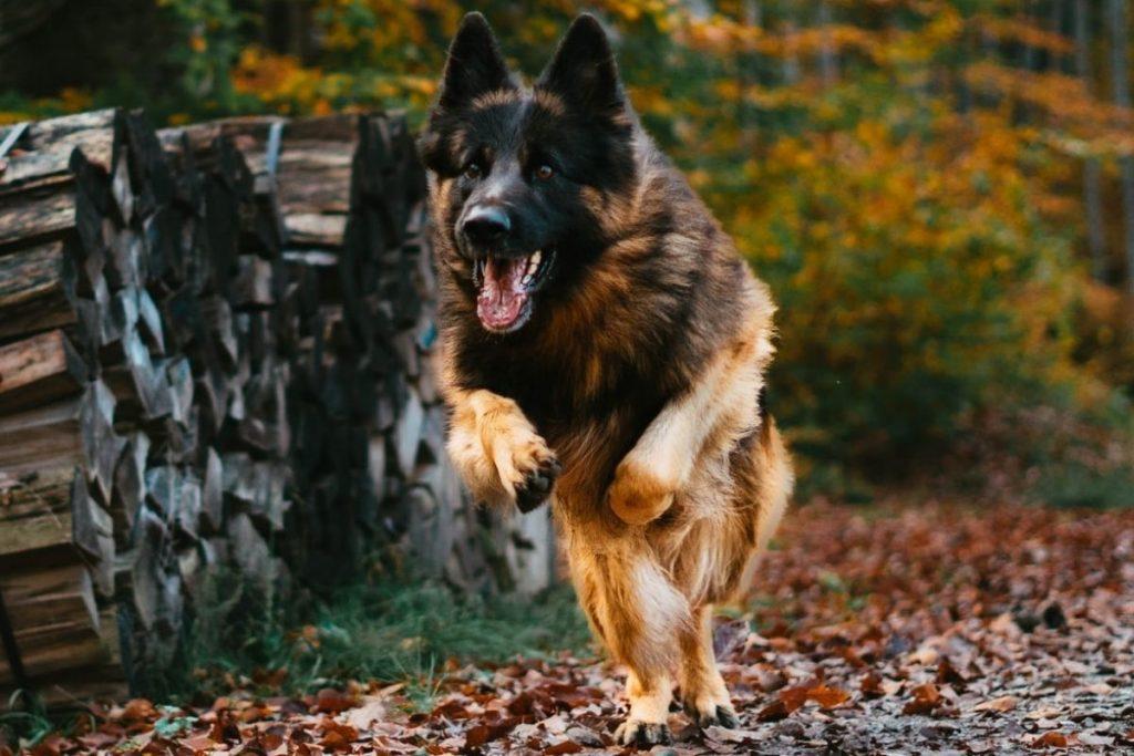 german shepherd coming when called