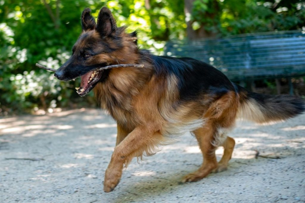 german shepherds like interesting things like sticks and running