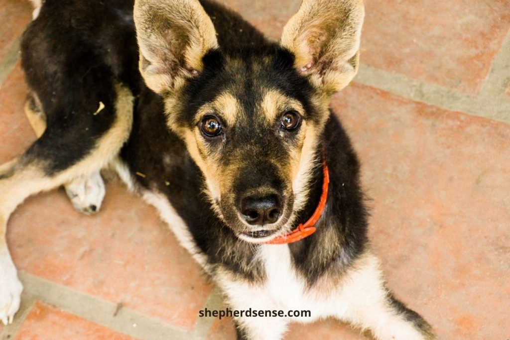 never discipline a German Shepherd puppy for having accidents during potty training
