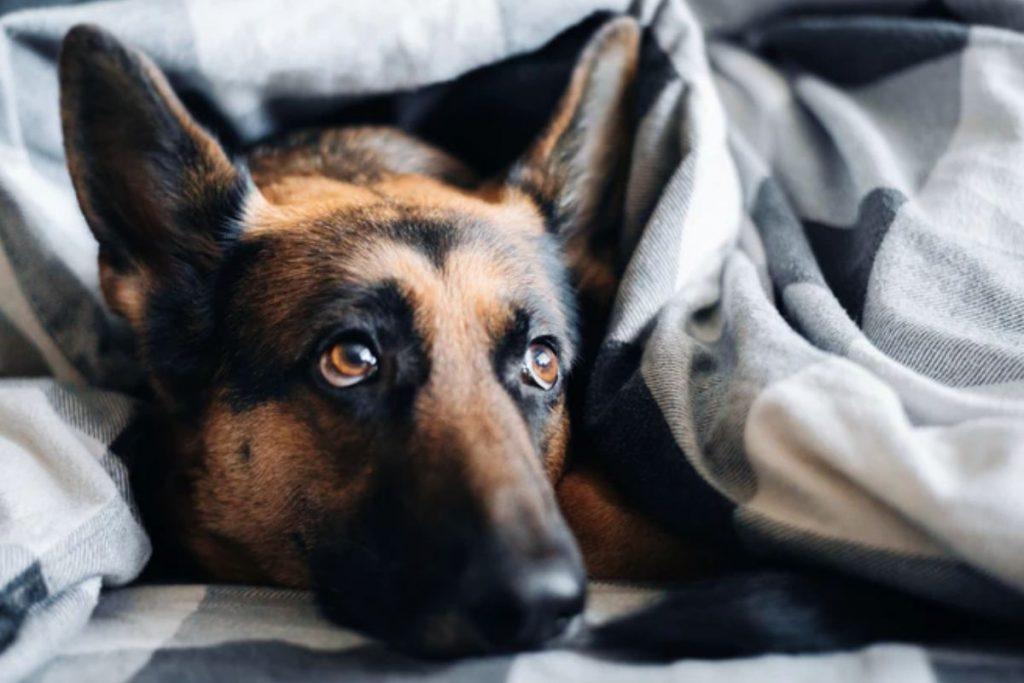 german shepherd dog beds