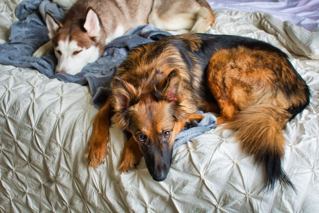 is it safe to let a german shepherd sleep in bed with you