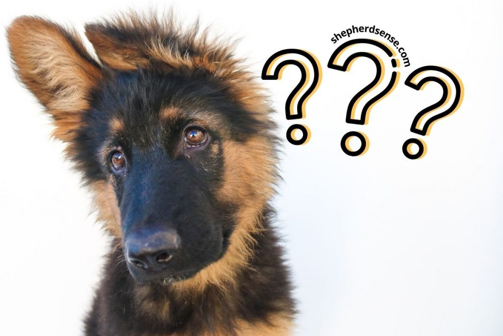 what age can german shepherds play mind games
