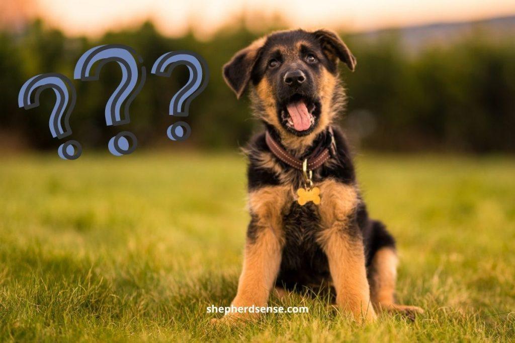 when to start brushing a german shepherd puppy