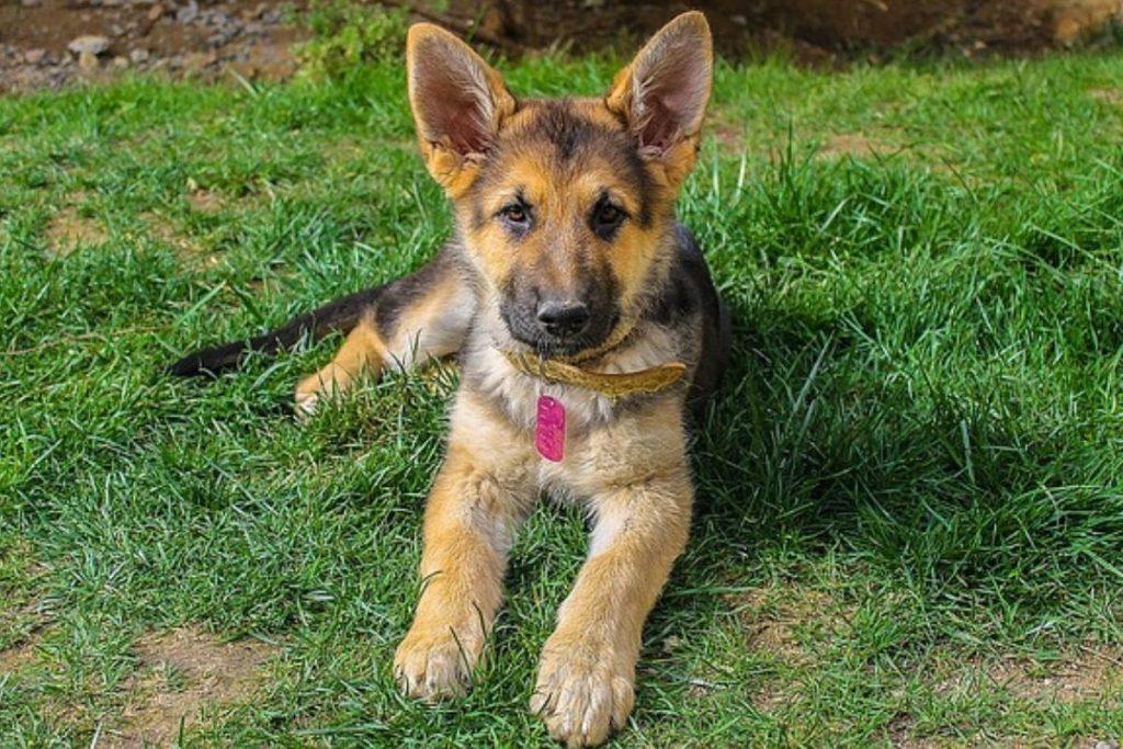 disciplining a german shepherd puppy the right way