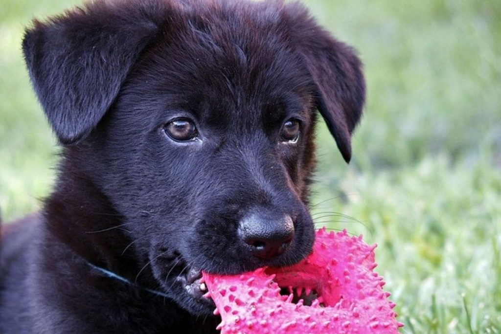 german shepherd puppy teething phase