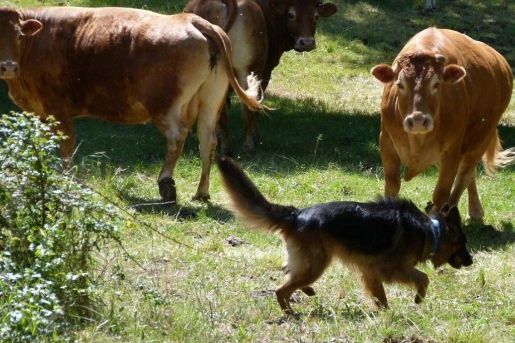 your german shepherd's natural herding instincts