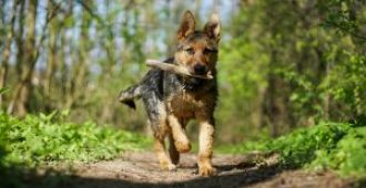 6 Month Old German Shepherd Behaviors and Puppy Problems (How to Solve Them)