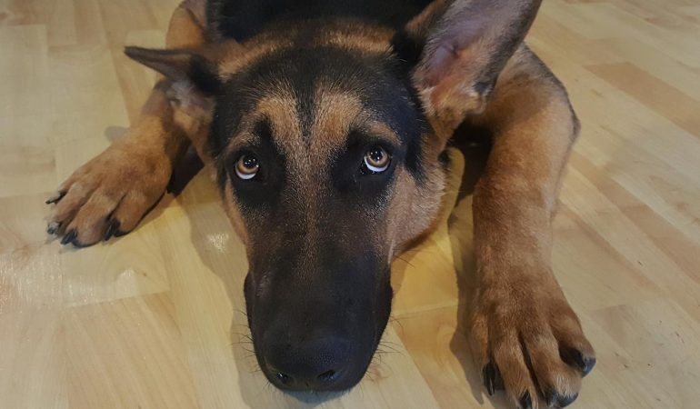 Do German Shepherds Have Webbed Feet? (The Complete Guide)