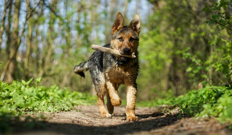 The 5 Best Exercises for German Shepherd Puppies (Fun, Easy Routines!)