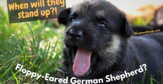 Floppy Eared German Shepherd? 3 Easy Fixes