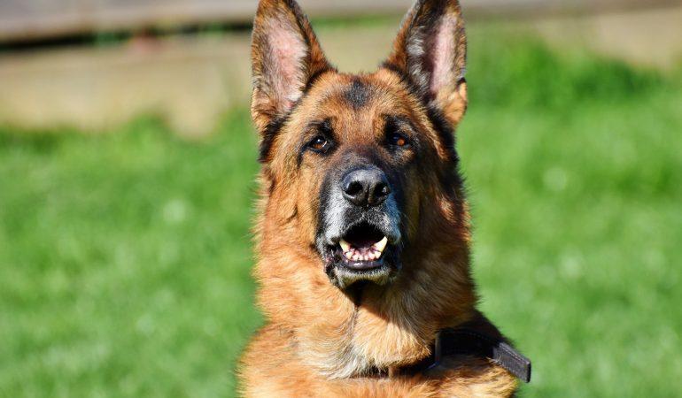 The Ultimate German Shepherd Commands List (for Boss Level Training)