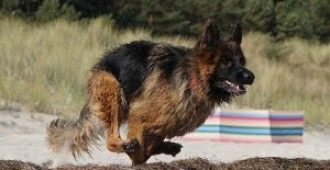 9 German Shepherd Exercise Routines (for Rock-Solid Health)