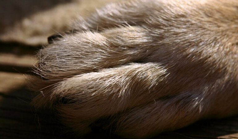 German Shepherd Feet: Normal Paws or Not (Should You Worry?)