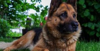German Shepherd Life Span: 15 Ways to Increase Longevity