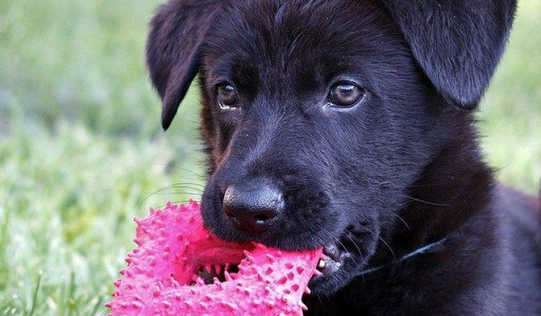 Easy German Shepherd Puppy Crate Training (Simple & Stress-Free)