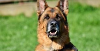 21 German Shepherd Shedding Solutions (That Make a Difference)