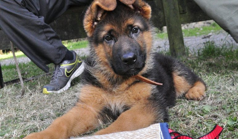 How Much Does It Cost To Train A German Shepherd (The Shocking Truth)