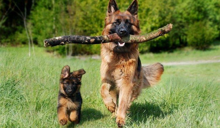 How to Fatten Up a German Shepherd (15 Bulk-Up Tips)