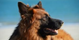 How to Improve Your German Shepherd's Coat Naturally (Science Based Tips)
