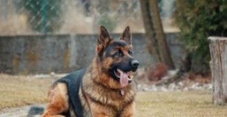 Quiet! How to Stop My German Shepherd From Barking at Strangers