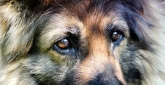 German Shepherd Temperament: Obedient, Curious, Alert Family Guardians