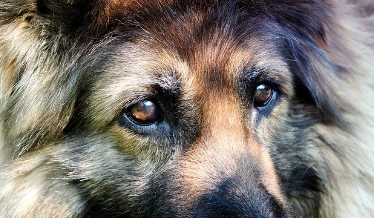 German Shepherd Temperament: Obedient, Curious, Alert Family Guardians