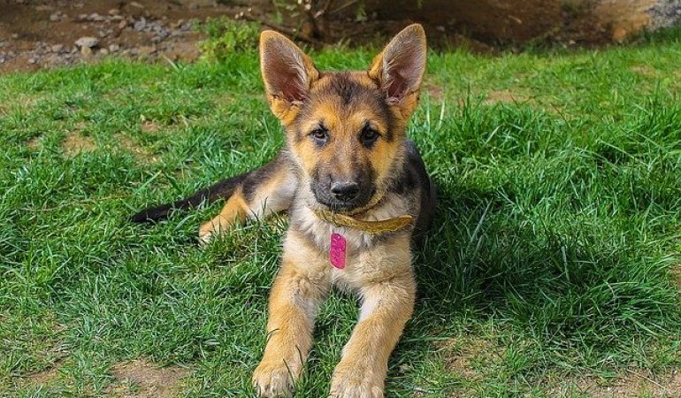 Owning a German Shepherd for the First Time (Your Most Important Tips)