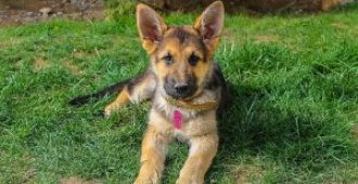 Training a German Shepherd Puppy to Walk on Leash (with Manners)