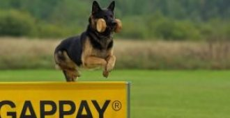 Why Are German Shepherds So Smart? (Secrets To Their Intelligence)