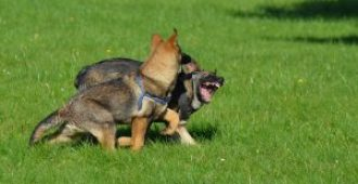 Why Your German Shepherd Attacks Other Dogs (And How to Fix It)